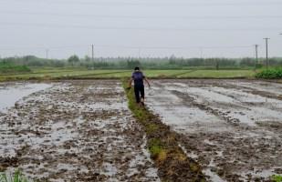 Rice patty field Jhu Jiang Want, China