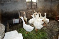Mrs. Jingyrn's geese