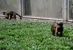 Brown pale fronted monkey's