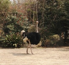 I like visiting the ostrich, I think they are so pretty. Have you ever eaten ostrich meat or eggs? I have and it's quite tasty!