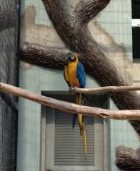 Blue and Yellow Macaw - Lan Huang Mai Gao