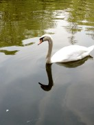 White swan in a better area of the lake.