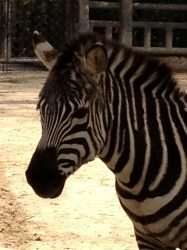 Zebra's are one of my favorites at the zoo