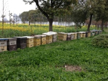 Bee hive's... the rapeseed plant is behind the hives, do you see it?