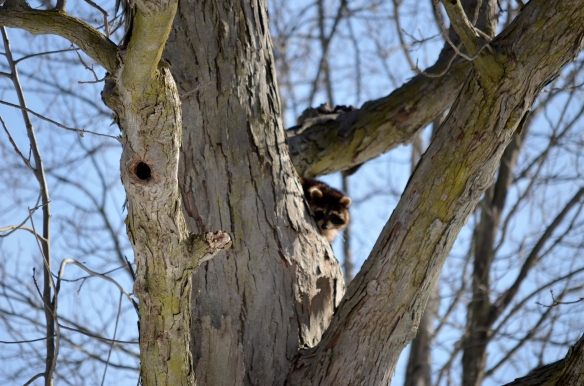 2 Raccoon